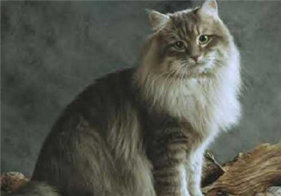 如何帮西伯利亚猫洗澡?西伯利亚猫护理毛发的方法介绍!