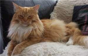 如何帮西伯利亚猫洗澡?西伯利亚猫护理毛发的方法介绍